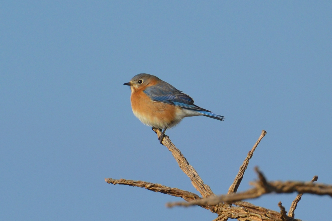 Eastern_Bluebird_(Sialia_sialis)_(16169120050)