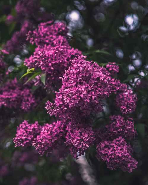 selective focus photography of purple lilac flowers