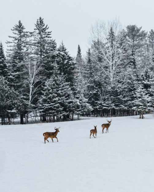 photo of deer on snow field